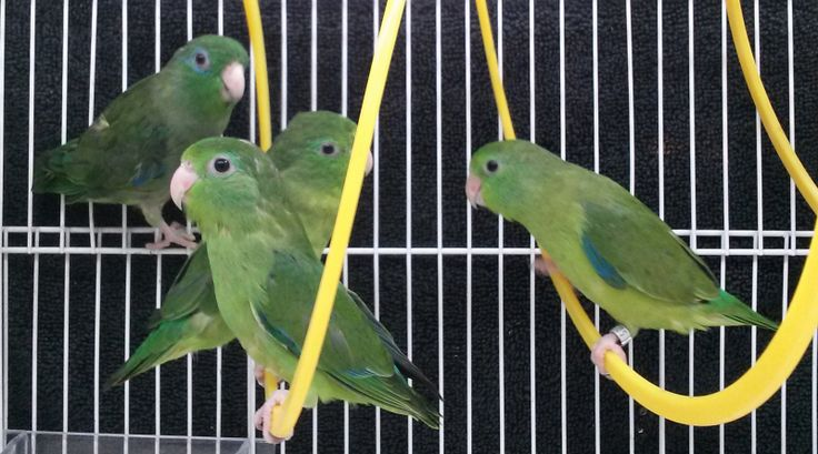 Spectacled Parrotlets For Sale