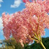 Wiązówka czerwona  Filipendula rubra » Byliny