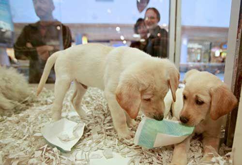 Isso é um grande motivo para comemoração! Já escrevemos aqui no site a respeito da venda de animais em Pet Shops, orientando vocês a jamais comprarem um cão vendido dessa forma: Não compre cachorro em pet shops. Finalmente uma medida foi adotada para diminuir o sofrimento desses animais. Agora o próximo passo é proibirem a …