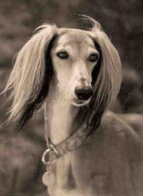 Saluki: Animals Doggies, Greyhounds, Dogs Salukis, Pet, Sighthound, Saluki Dogs, Beautiful Dogs, Friend