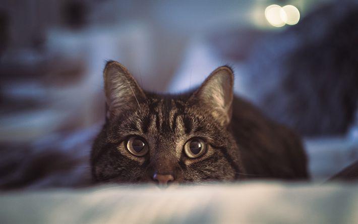 Download wallpapers gray cat, domestic cat, sofa, pets, eyes