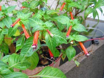 Planta del cigarro, Flor del tabaco, Fosforito, Hipanto coloreado