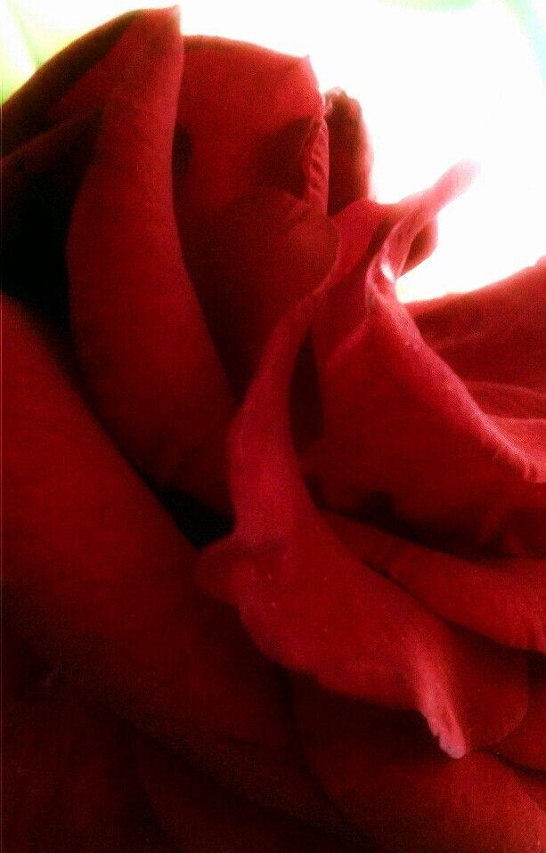 Red Rose - NicFrances EyeEm