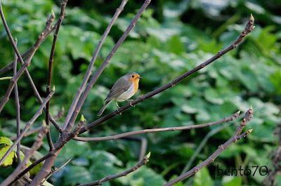 Birding Cascais: Pisco-de-peito-ruivo / European Robin (Erithacus r...