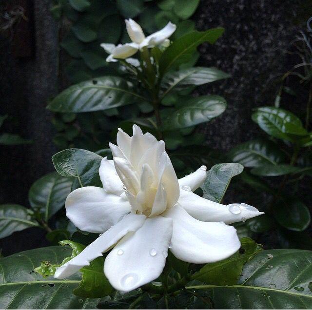 Melati Bali ( gardenia tahitensis heaven scent )
