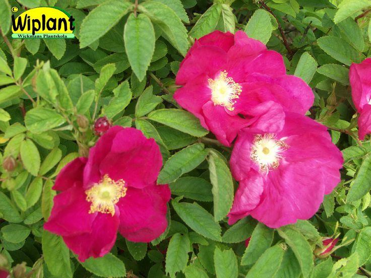 Rosa 'Iltin Tiltu', Ros. FinE-sort i gallica-gruppen. Stora purpurröda enkla blommor  Härdig.  Lättskött.  Höjd: 1,5 m.  Zon IV.