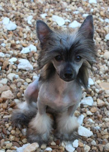 Chinese Crested Pictures (23ahjhtun63)