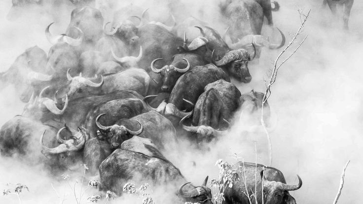 """""""Buffaloes in the dust"""" in Mana Pools National Park, Zimbabwe ©Andrea Galli"""