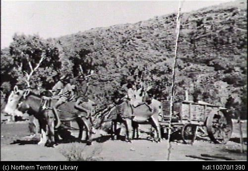 The donkey cart ready to go 'bush' to collect firewood. Areyonga. 1951