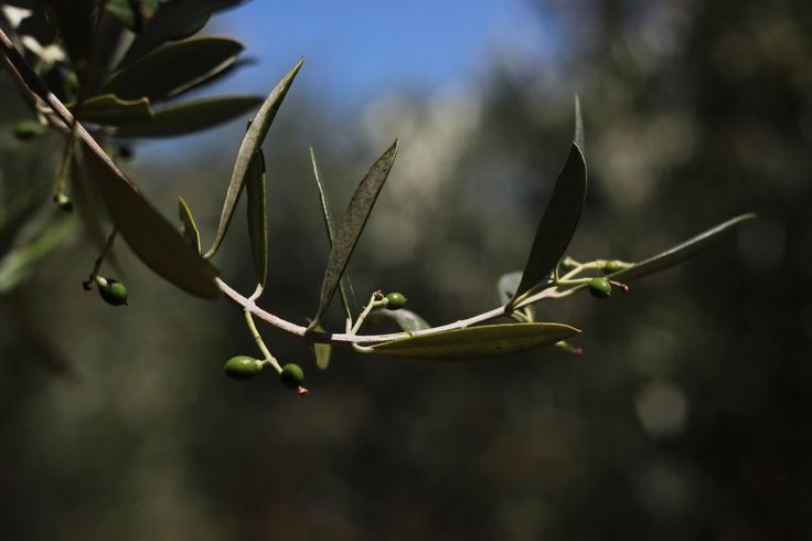 We are so excited about the beautiful new young olives on our trees! #newcrop