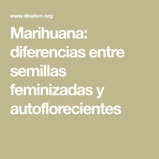 Marihuana: diferencias entre semillas feminizadas y autoflorecientes