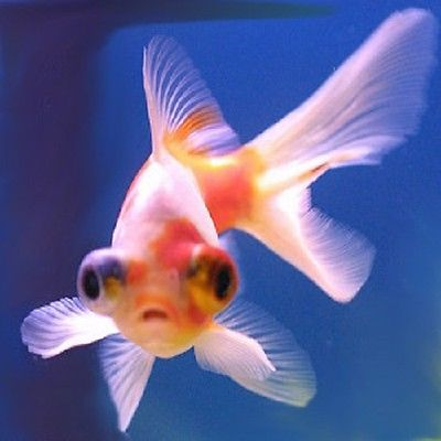 Live cold #water fish for sale - #telescopic eye #fantails - 5cm,  View more on the LINK: http://www.zeppy.io/product/gb/2/182293755670/