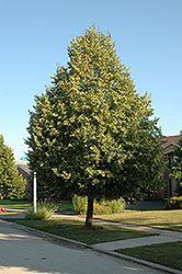 Click to view full-size photo of Glenleven Linden (Tilia x flavescens 'Glenleven') at Cannor Nurseries