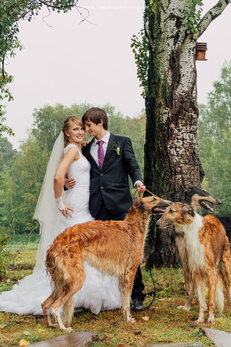 wedding with russian greyhounds