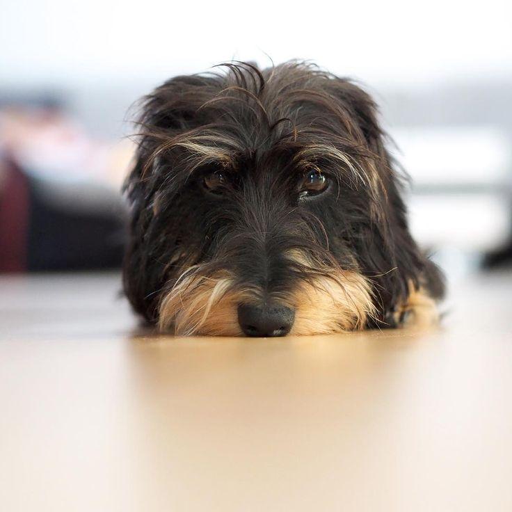 Mo is watching you  #dachshundlove #dachshundsunited #zwergrauhaardackel #zwergdackel #rauhaardackel #dog #dogs #dogstagram #dogoftheday #dachshund #dachshundsofinstagram #dachshundlove @dachshundappreciation @sausagedogcentral #doxiesofinstagram #doxie  #bassotto #bassottotedesco #bassottopeloduro #miniaturedachshund #wirehaireddachshund #miniaturewirehaireddachshund #dogsofinstagram #wienerdog #sausage #sausagedog #taksa #такса #собака