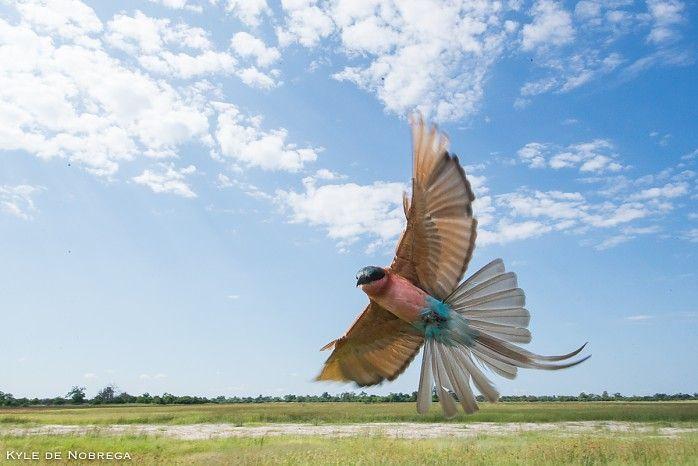Spectacular Kings Pool Camp - carmine bee-eater in Botswana's Linyanti #ILoveBotswana
