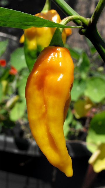 "Fatali - One of the hottest peppers known, the Fatali scores near record-heat on pepper heat scales and even beats most Habanero's. Produces golden yellow fruits that grow to 3"" and have a citrus-like flavor beneath their intense heat. Originally from the Central African Republic."