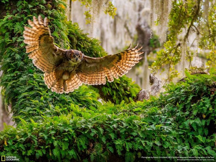 """Great Horned Owl Returning. """"This Great horned Owl is returning to her nest in an urban area near the busy Citrus county sheriffs office where the county deputies come and go pretty much on a regular basis. As well as it be near the highway leading to the high school campus."""""""