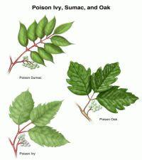 Poisonous Plants Poison Ivy, Oak, and Sumac