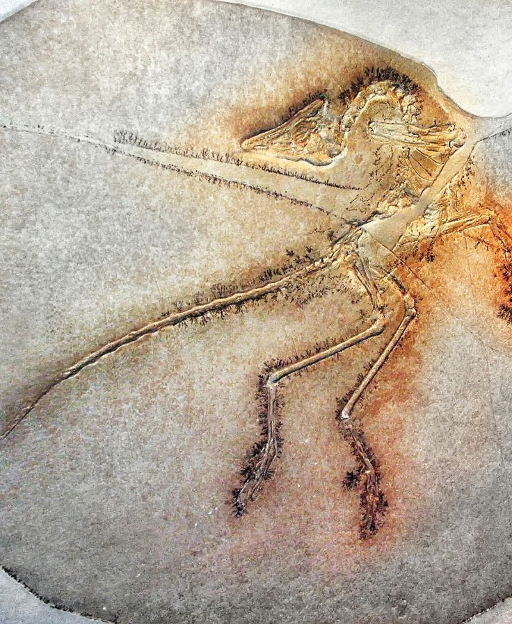 Archaeopteryx lithographica - Archaeopteryx lived in the Late Jurassic around 150 million years ago, in what is now southern Germany during a time when Europe was an archipelago of islands in a shallow warm tropical sea, much closer to the equator than it is now. Similar in size to a Eurasian magpie, with the largest individuals possibly attaining the size of a raven, the largest species of Archaeopteryx could grow to about 0.5 m (1 ft 8 in) in length