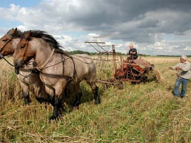 First harvest with Brabant (Belgian) draft horses. Both Belgians and Brabants are predominately roan in Europe