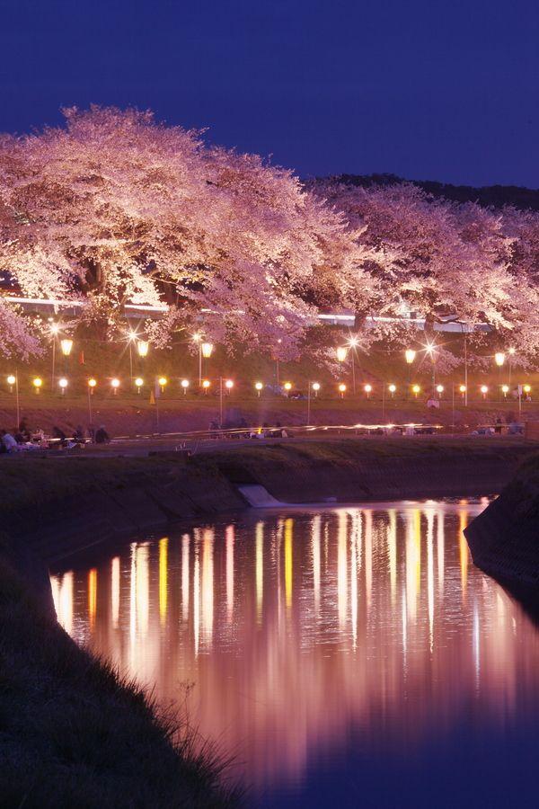 Cherry blossoms/桜