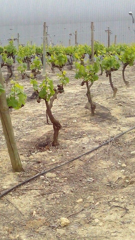 Viñas de Barbadillo en Gibalbín