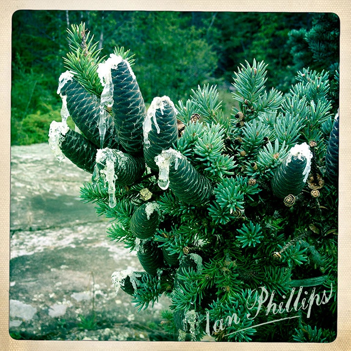 Black Pinecones • Spruce Tree • Thunder Bay, Ontario