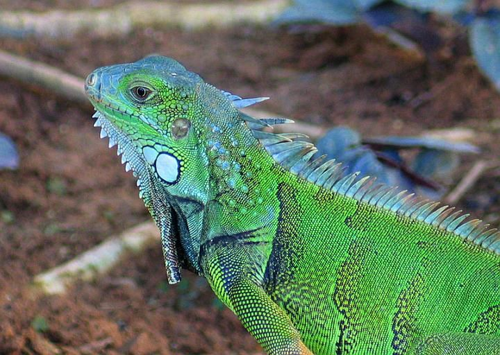 I BOUGHT A BABY GREEN IGUANA AND ITS NAME IS IGGY BECAUES DONT KNOW IF