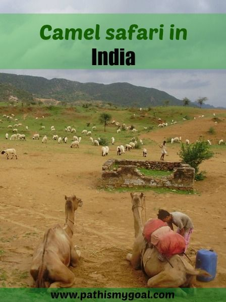 Experience from Thar desert in Rajastan in India - overnight camel safari in Pushkar. More: http://www.pathismygoal.com/overnight-camel-safari-in-pushkar-through-the-desert/