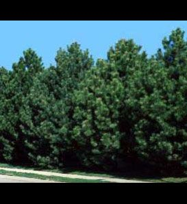 Austrian Pine  Pinus nigra    Very Hardy  Withstands city and seaside conditions  Able to survive through heat and droughts  Grows well in clay and alkaline soils  Great for windbreaks  Grows to 60' tall with 20' to 40' spread  Zones 4 to 7