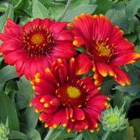 Arizona Red Shades Blanket Flower   Gaillardia grandiflora Arizona Red Shades   High Country Gardens