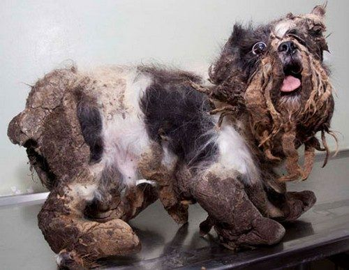 HAPPY ENDING: Stray dog rescued by the humane society (9 Pics)  The Quebec Society for the Protection of Animals (SPA) rescued and cleaned up this little pooch that lived his life with a dog breeder.  The breeder let him get in horrendous condition..