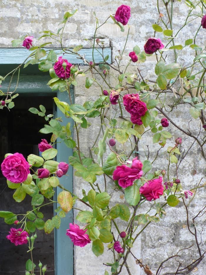 5 Favorites: A Rose for All Regions, Northern California Edition Gardenista