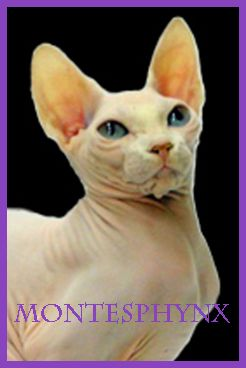 BRIGHT MOOD OF LUNA NUESTROS GATOS-HEMBRAS SPHYNX-MONTESPHYNX CATTERY