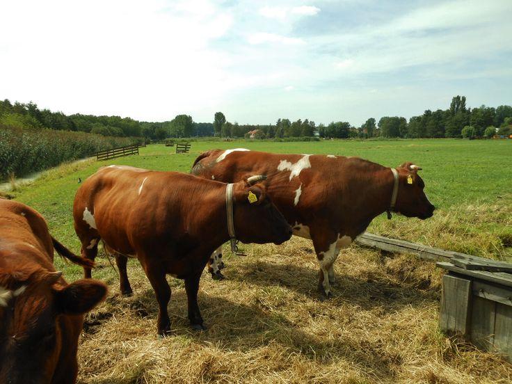 Koeien - aan de rand van Zevenkamp
