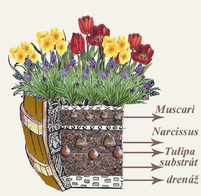 Lúka v kvetináči - výsadba - tulipán, narcis a modrica