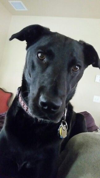 ... Abby the Labradane on Pinterest | Cats, He loves me and Labrador mix
