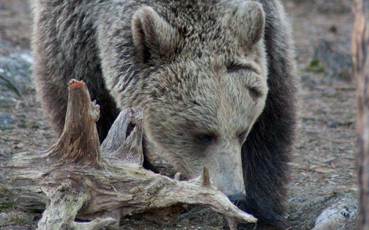 Big Brown Bear in Finland:  http://www.kontikifinland.com/holidays/destination/1184333/north-eastern-finland/spring-wildlife-holiday-finland