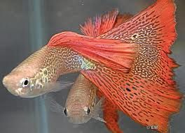 Guppy red lace snakeskin :O