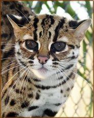 bengal cats for sale buy a bengal cat bengal kitten pricing, bengal cats, bengal kittens for sale, Bengal Breeder, bengal kittens california, bengal kittens bayarea, San Jose, CA Asian Leopard Cat