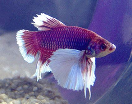 Betta tropical fish for sale betta freshwater tropical for Giant betta fish for sale