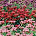 The mix of colors in the bee balm is awesome for the butterflies and bees