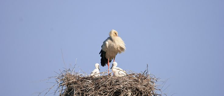 We have a Stork´s nest in Casa Flor de Sal and this year the Storks raised two young succesfully. Come and see the Storks by yourself.  Book this sub-tropical paradise! Birdwatching, Ria Formosa Natural Parc, Algarve, Portugal, www.casaflordesal.com