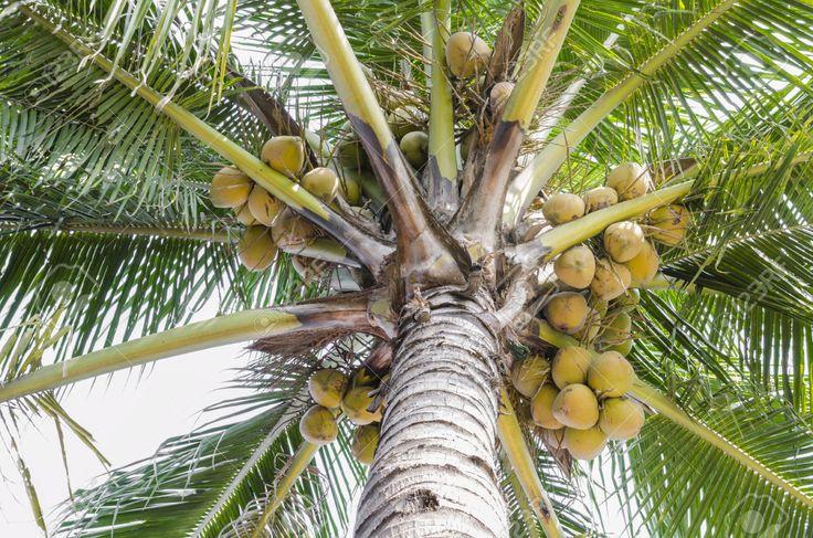 Unter Schuss Kokosnussbaum Mit Gelben Kokos-Frucht Lizenzfreie ...