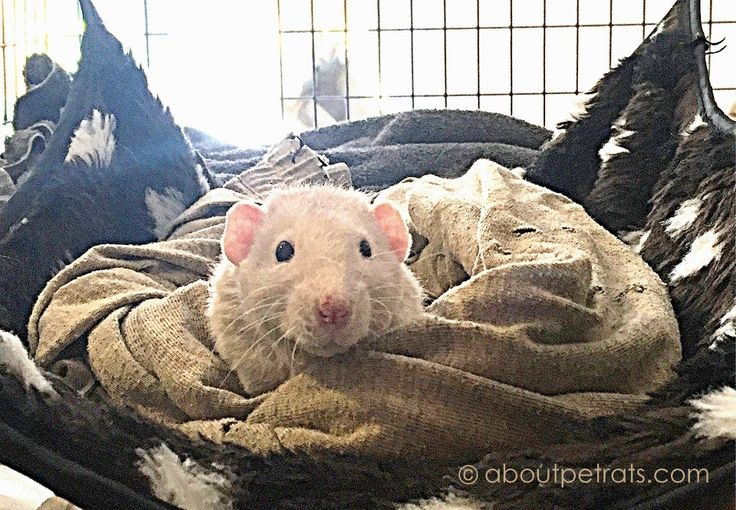 Get your free Guide to Essential Pet Rat Supplies, newsletters and the opportunity to participate in pet rat supply giveaways here: http://aboutpetrats.com/go/free-pet-rat-supplies-guide-2