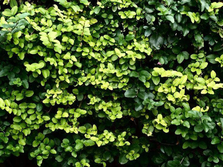 Las 25 mejores ideas sobre plantas para cercos en - Plantas para vallas ...
