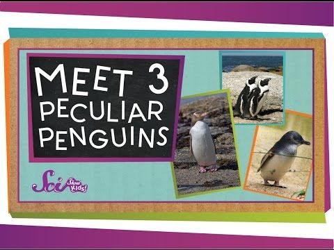 SciShow Kids: Meet 3 Peculiar Penguins by scishow: When you think of penguins, you probably think of the kinds you've seen in cartoons and movies. But there are at least 18 different kinds of penguins, including some that are tiny, some that live in hot places, and even some that spend time in the woods! Get introduced to 3 types of penguins you've probably never met before! SOURCES:http://www.neaq.org/animals_and_exhibits/animals/little_blue