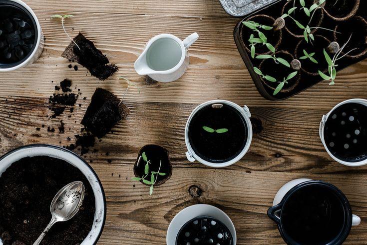 Tomatenliebelei – Von der Aussaat bis zur Ernte. Teil 2: Tomaten pikieren und umtopfen