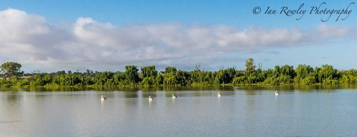 Pelicans on the River Murray